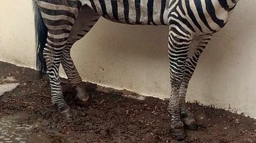 Con ngựa gầy guộc, lộ xương ẩn dưới lớp da (Ảnh: Peludosalaire).