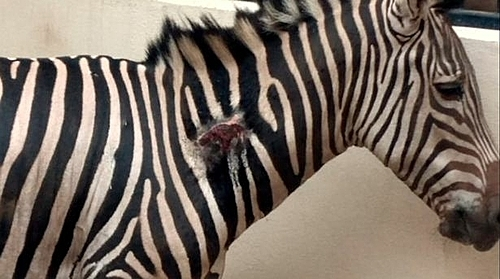 Vết thương lớn ở cổ ngựa vằn Karo.