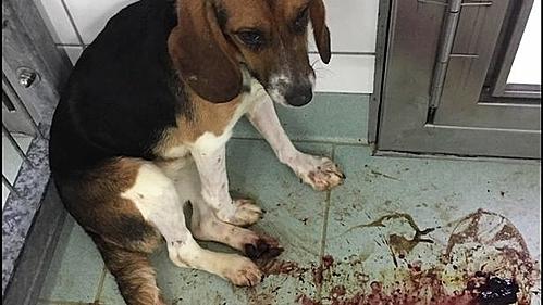Con chó bị chảy máu và bị bỏ lại trong tình trạng đau đớn sau bài test.
