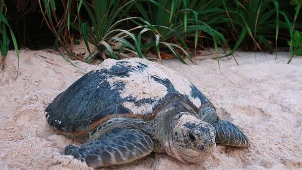Côn Đảo nằm cách xa bờ biển phía Đông Nam Việt Nam. Côn Đảo được yêu thích bởi những rạn san hô đầy màu sắc, các địa điểm lặn và bãi biển sạch. Đây là nơi làm tổ của loài rùa vào giữa tháng 6 và tháng 9. Ảnh: Six Senses Con Dao.
