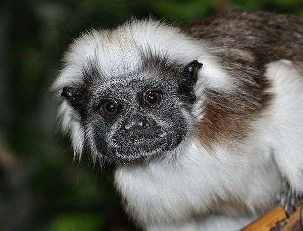 Gương mặt nghiêm túc với đôi mắt to tròn của một loài khỉ thuộc họ linh trưởng