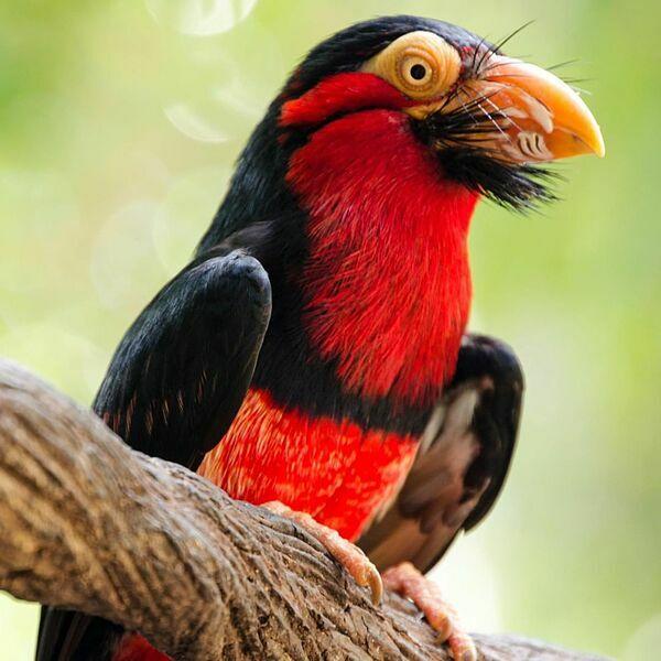Loài vẹt sặc sỡ với điểm nhấn là đôi mắt to tròn đến từ Châu Phi
