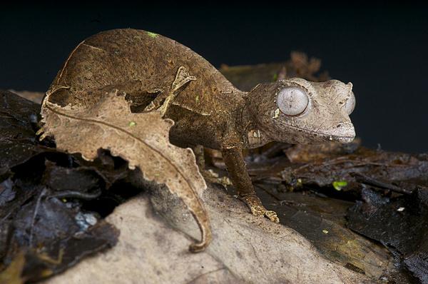 Tắc kè đuôi lá với vẻ ngụy trang độc lạ. Ngoài ăn côn trùng, đôi khi chúng vẫn có thể ăn thằn lằn