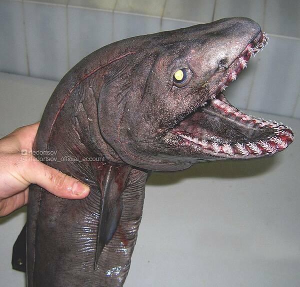 Một con cá bị mắc lưới với hàm răng kỳ lạ.