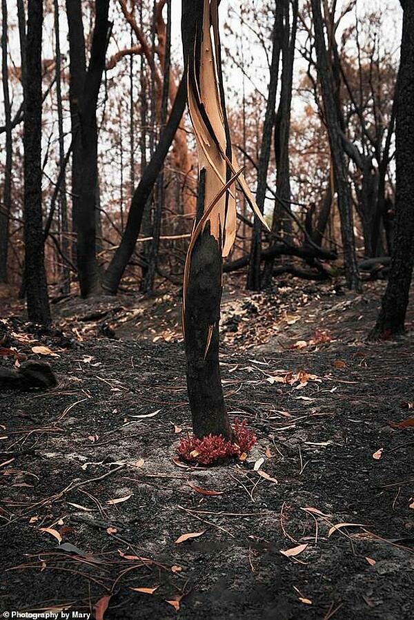 Sự tái sinh của thảm thực vật diễn ra chỉ ít ngày sau đám cháy.