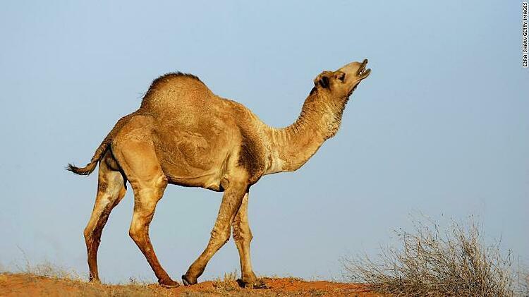 Lạc đà đang gia tăng ở Australia. Ảnh: CNN.