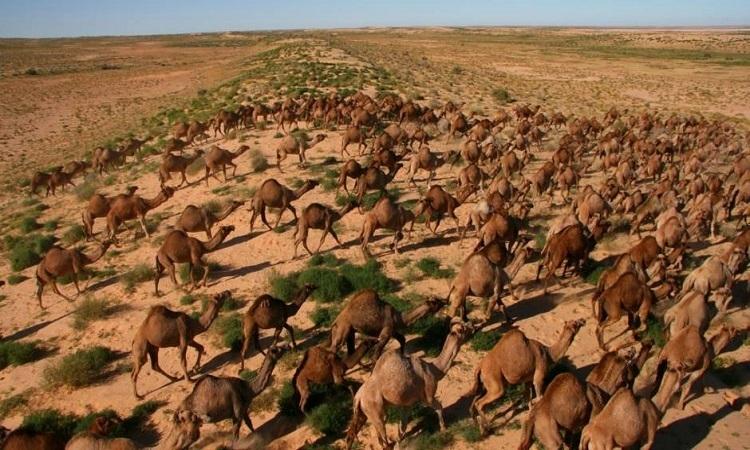 Lạc đà hoang trên sa mạc Simpson, Australia. Ảnh: News.com.au