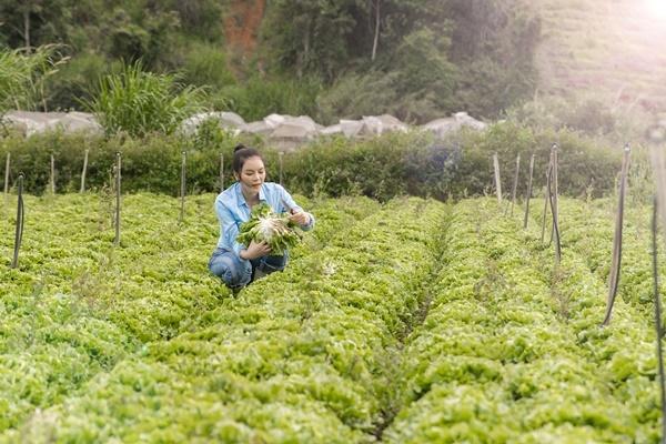 Sau khi hái cà chua, cô tiếp tục thu hoạch xà lách.