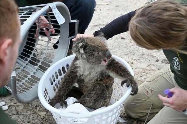 Một con koala được cứu hộ khỏi thảm kịch cháy rừng Australai. Ảnh: AFP.