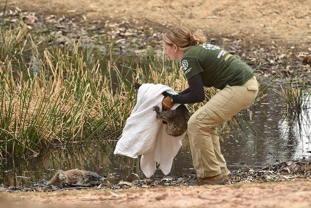 Kelly Donithan mang con koala bị thương về chăm sóc. Ảnh: AFP.
