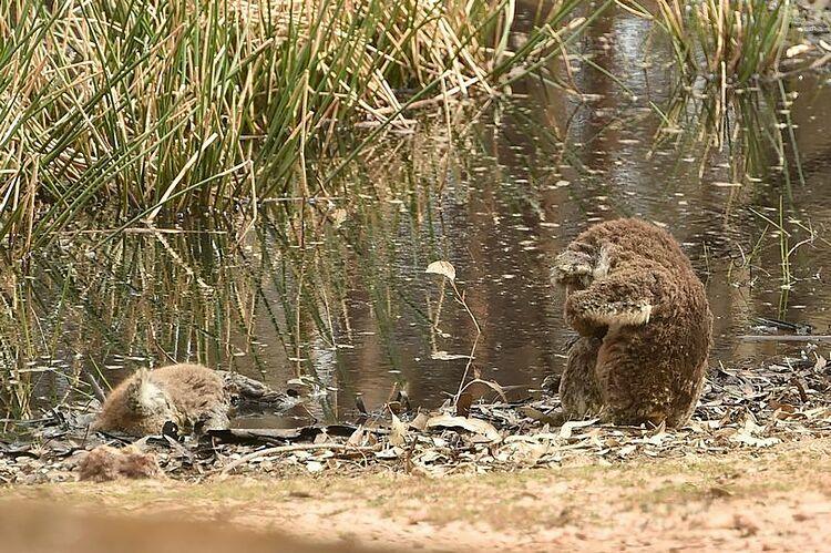 Koala ôm mặt ngồi cạnh xác đồng loại. Ảnh: AFP.