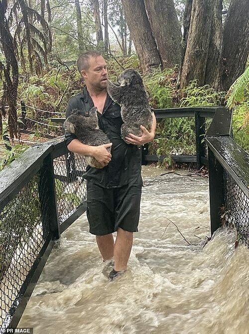 Nhân viên cứu hộ ôm những con koala khỏi khu vực nước lũ.