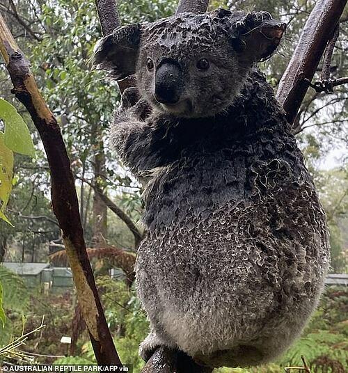Koala ướt sũng nước. Ảnh: AFP.