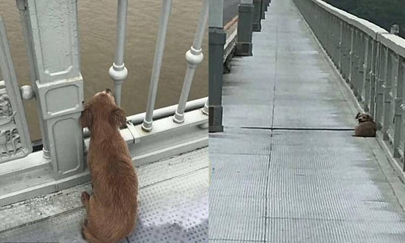 Con chó đợi trên cầu Dương Tử ở Vũ Hán, Trung Quốc.