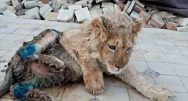 Con sư tử bị đánh gãy chân sau để không thể trốn thoát khỏi vườn thú ở Nga.