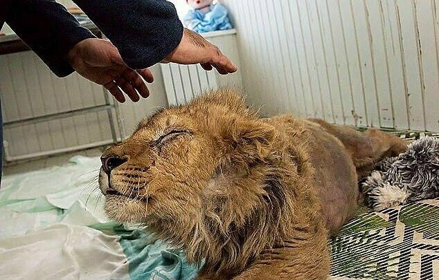Con vật mọc lông dày hơn sau khi được giải cứu.