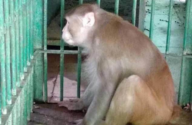 Khỉ Kalua bị nhốt trong chuồng tại sở thú Kanpur, bang Uttar Pradesh.
