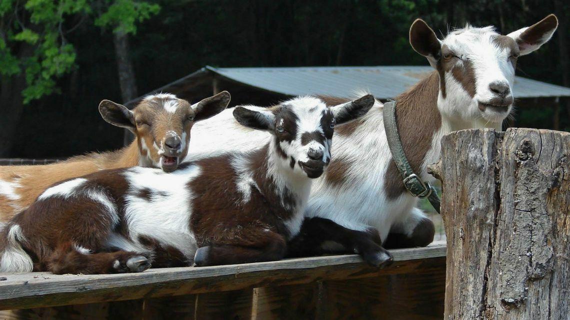Một vài con dê trong trang trại Baxter Lane,