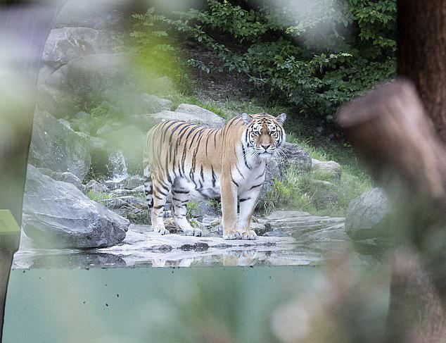 Du khách kinh hoàng gọi cứu trợ khi thấy con hổ tấn công người phụ nữ nhưng nạn nhân không thể qua khỏi. Ảnh: EPA.