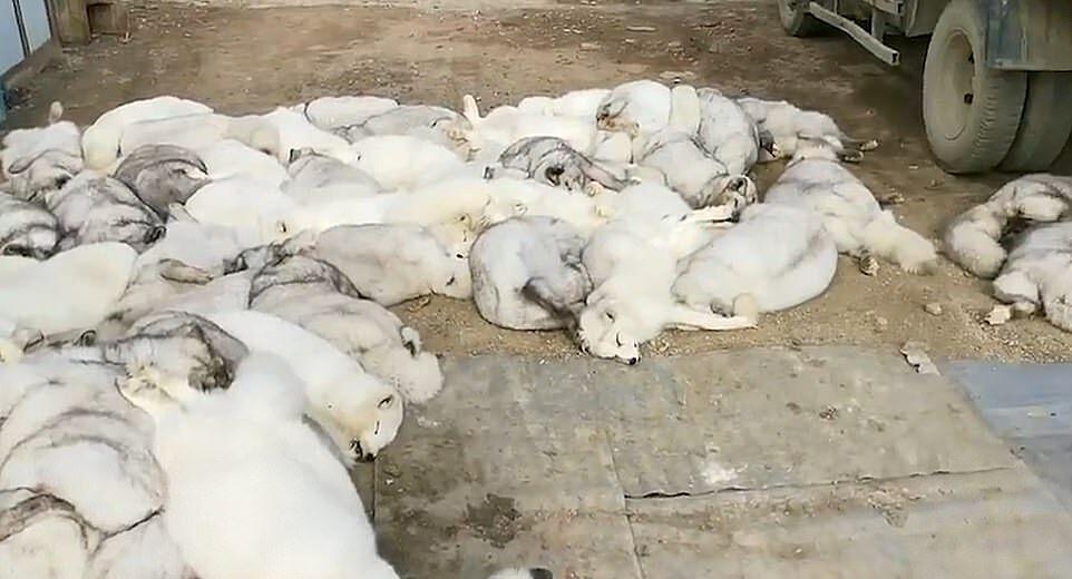 Những con cáo bị đánh chết bằng thanh kim loại trước khi bị đem đi lột lông.