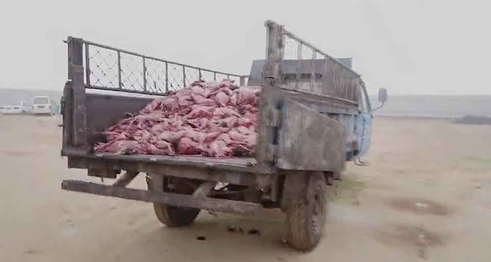 Chiếc xe tải chở những con cáo bị lột sạch lông.