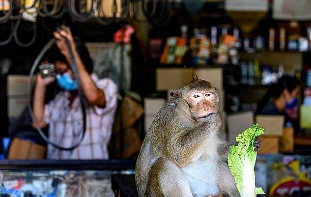 Cuộc đời khỉ nô lệ bị bắt để huấn luyện hái dừa - 4