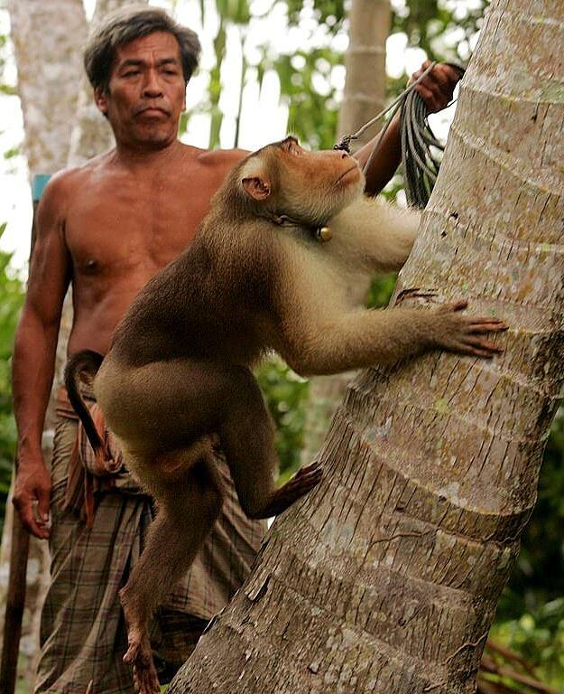 Một con khỉ bị buộc dây leo lên một cây dừa để hái dừa cho chủ ở tỉnh Narathiwat. Ảnh: Reuters.