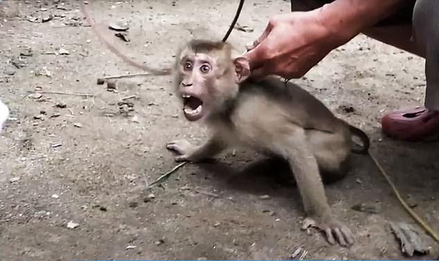 Các điều tra viên của PETA đến thăm 8 trang trại khỉ nơi khỉ bị bắt hái dừa, cung cấp cho những nhà sản xuất nước dừa lớn của Thái Lan