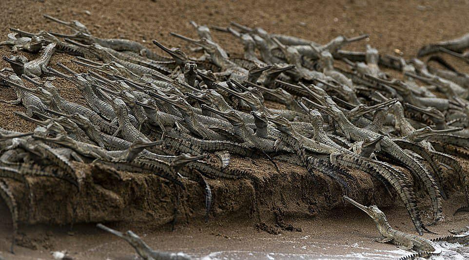 Nhiếp ảnh gia 39 tuổi, đến từ New Delhi, cho biết: Khi đến gần, tôi thấy lượng lớn cá sấu phủ kín bờ sông. Những con vật bên nhau san sát, đầu cùng quay về một hướng. Tôi không ngờ sẽ thấy một đội quân như vậy. Thật ngoạn mục.
