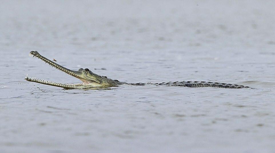Những con gharial lớn có chế độ ăn là cá, trong khi các con non ăn côn trùng, động vật giáp xác và ếch.