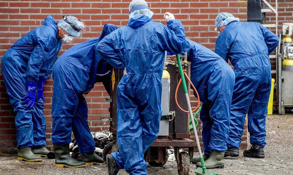 Nhân viên ở Hà Lan tiêu hủy chồn.