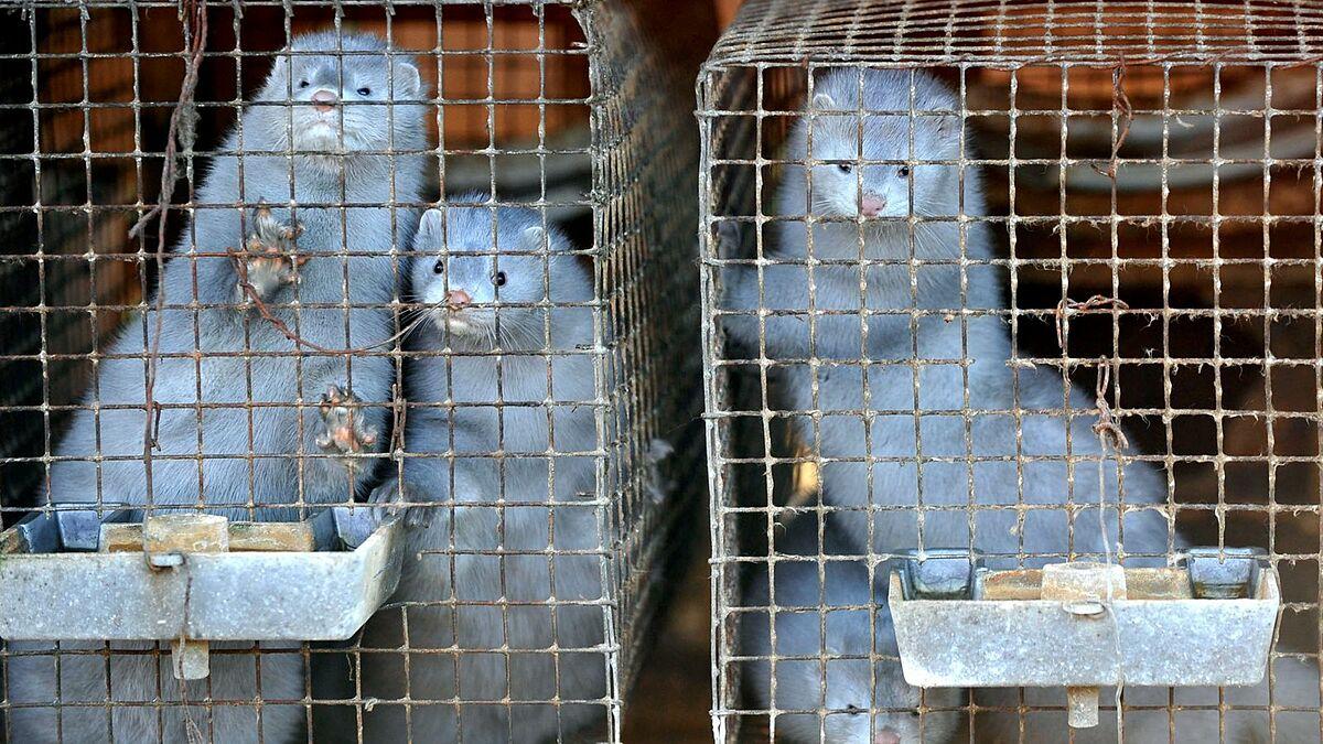 Những con chồn được nuôi ở trang trại Tây Ban Nha. Ảnh: BBC.