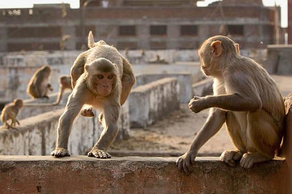 Loài khỉ vàng ở Ấn Độ. Ảnh: BBC.