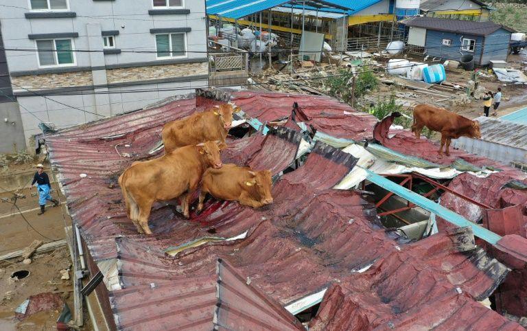 Mái tôn sụp vì kích thước to của những con bò.