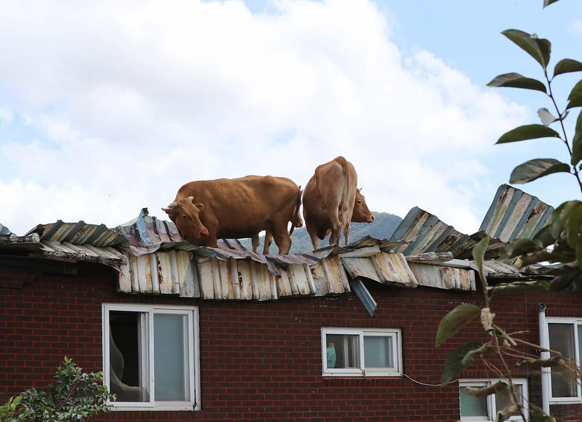 Bò mắc cạn trên mái nhà ở Hàn Quốc. Ảnh: Yonhap.