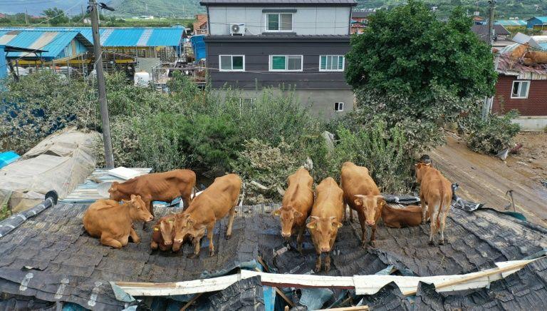 Đàn bò đứng co cụm trên mái nhà sau khi nước rút.