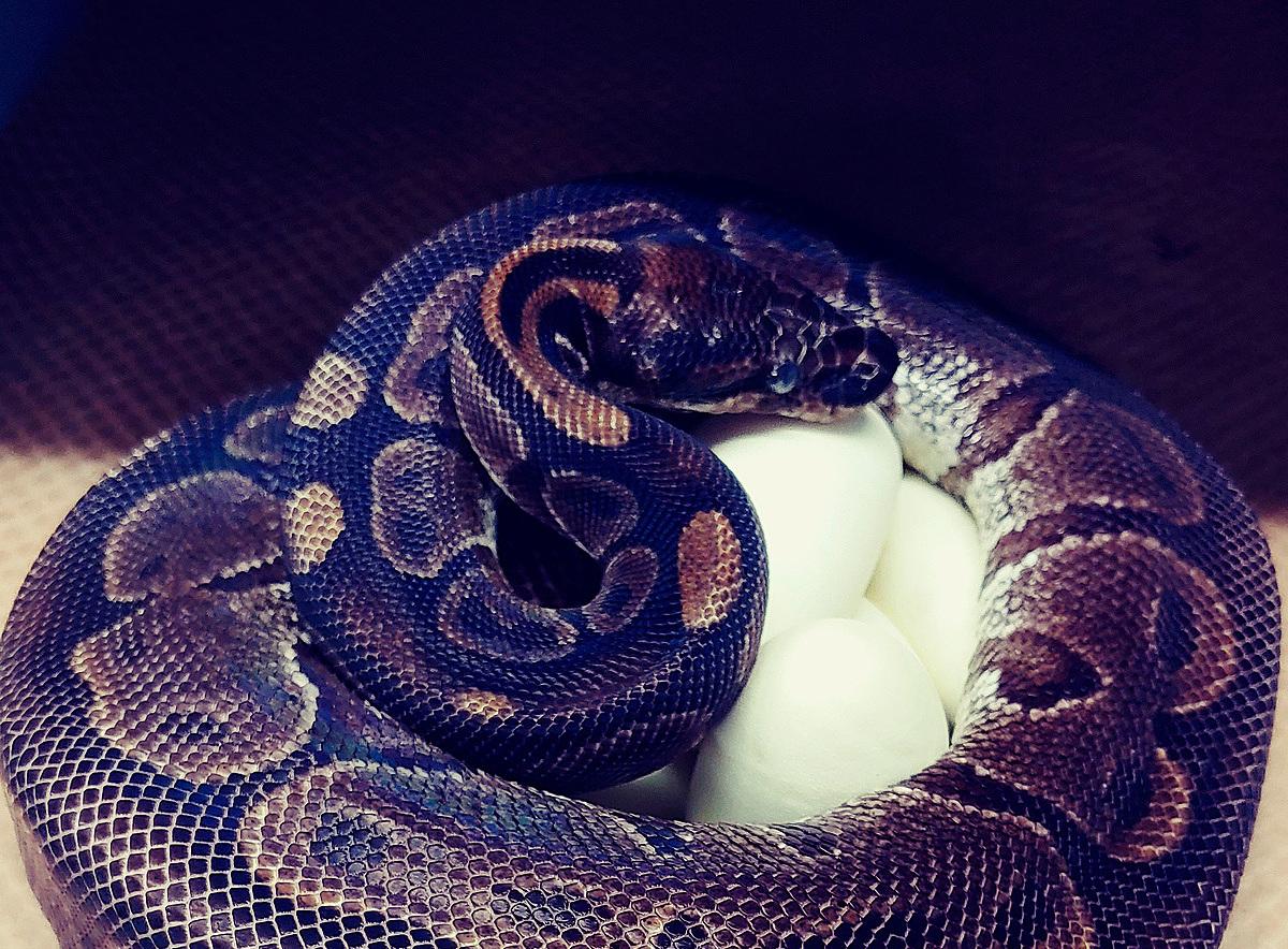 Con trăn cái ít nhất khoảng 62 tuổi đã đẻ 7 quả trứng dù nhiều năm không gặp con đực.