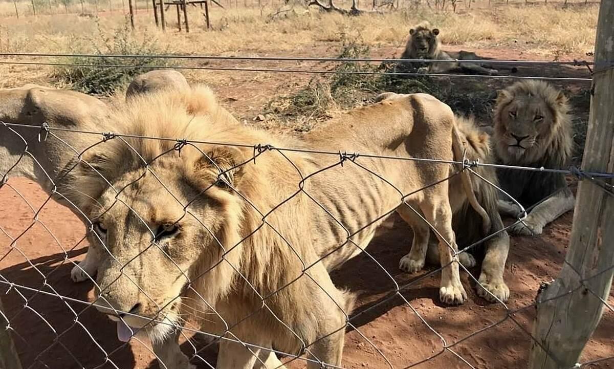 Những con sư tử nuôi nhốt trong điều kiện tồi tệ trở nên gầy trơ xương sườn.