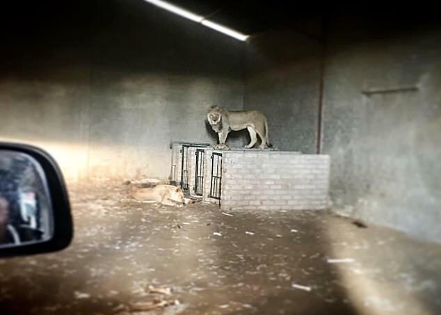 Sư tử trong chuồng thiếu ánh sáng và cỏ.