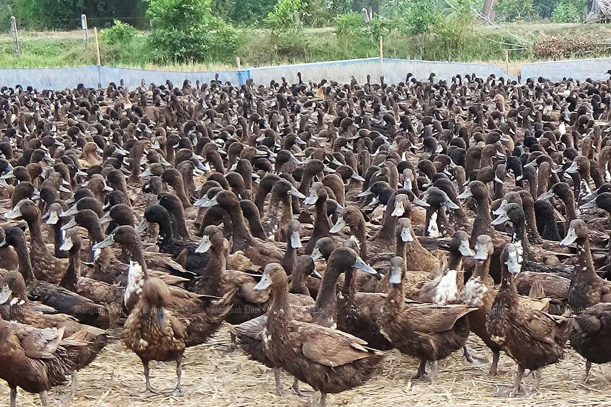 Đội quân 10.000 con vịt đi làm vui như trẩy hội - 4