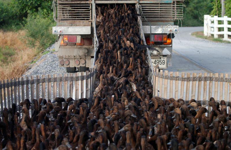 Đội quân 10.000 con vịt đi làm vui như trẩy hội - 2
