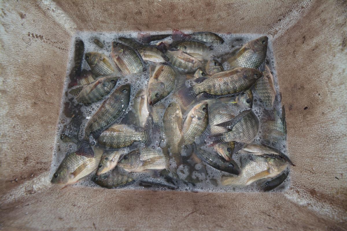 Số lượng cá bắt được lên đến hàng chục kg, được người dân cho vào các thùng xốp. Số lượng cá này được người dân bán ngay bên bờ biển hoặc được mang về làm thực phẩm.