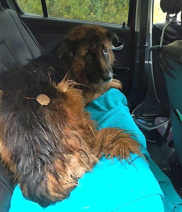 Chó Kiryusha được tìm thấy trong tình trạng kiệt sức.