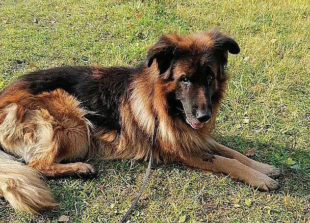Kiryusha, chó chăn cừu Đức 7 tuổi đã phục hồi sau khi bị chôn sống.