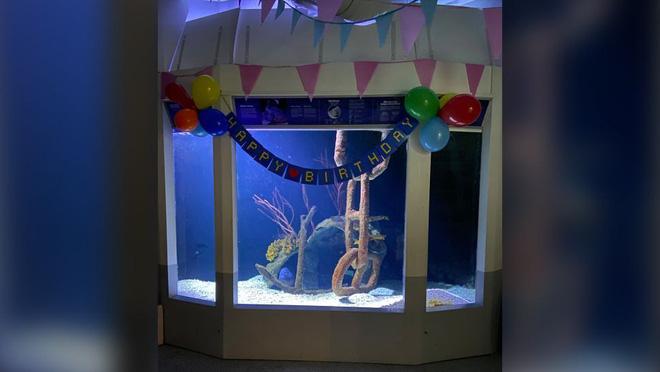 Tiệc sinh nhật lần thứ 16 của cá mú Mikko.