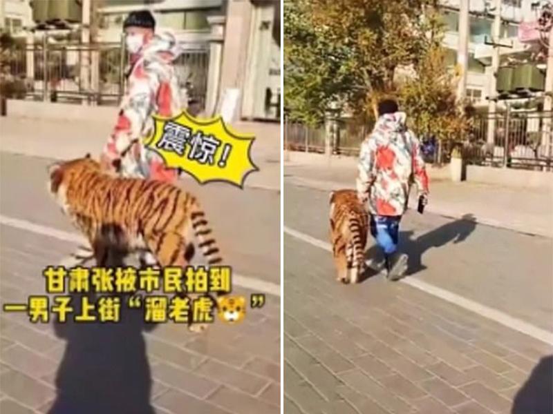 Con chó được nhuộm lông giống hệt với con hổ.