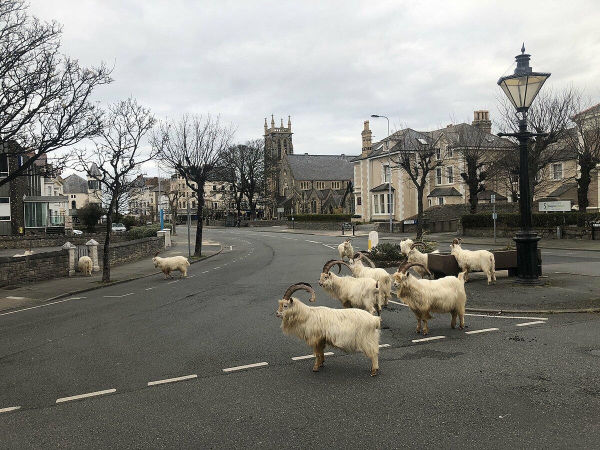 Dê đi bộ vào một thị trấn nhỏ ở xứ Wales.