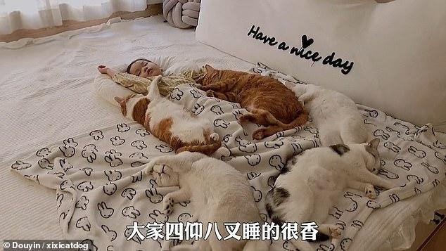 Xiao Xi ngủ ngon lành quanh 5 mèo cưng. Ảnh: Douyin