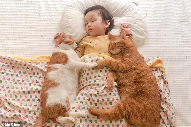 Chen thường ghi lại khoảnh khắc Xiao Xi ngủ bên mèo cưng.