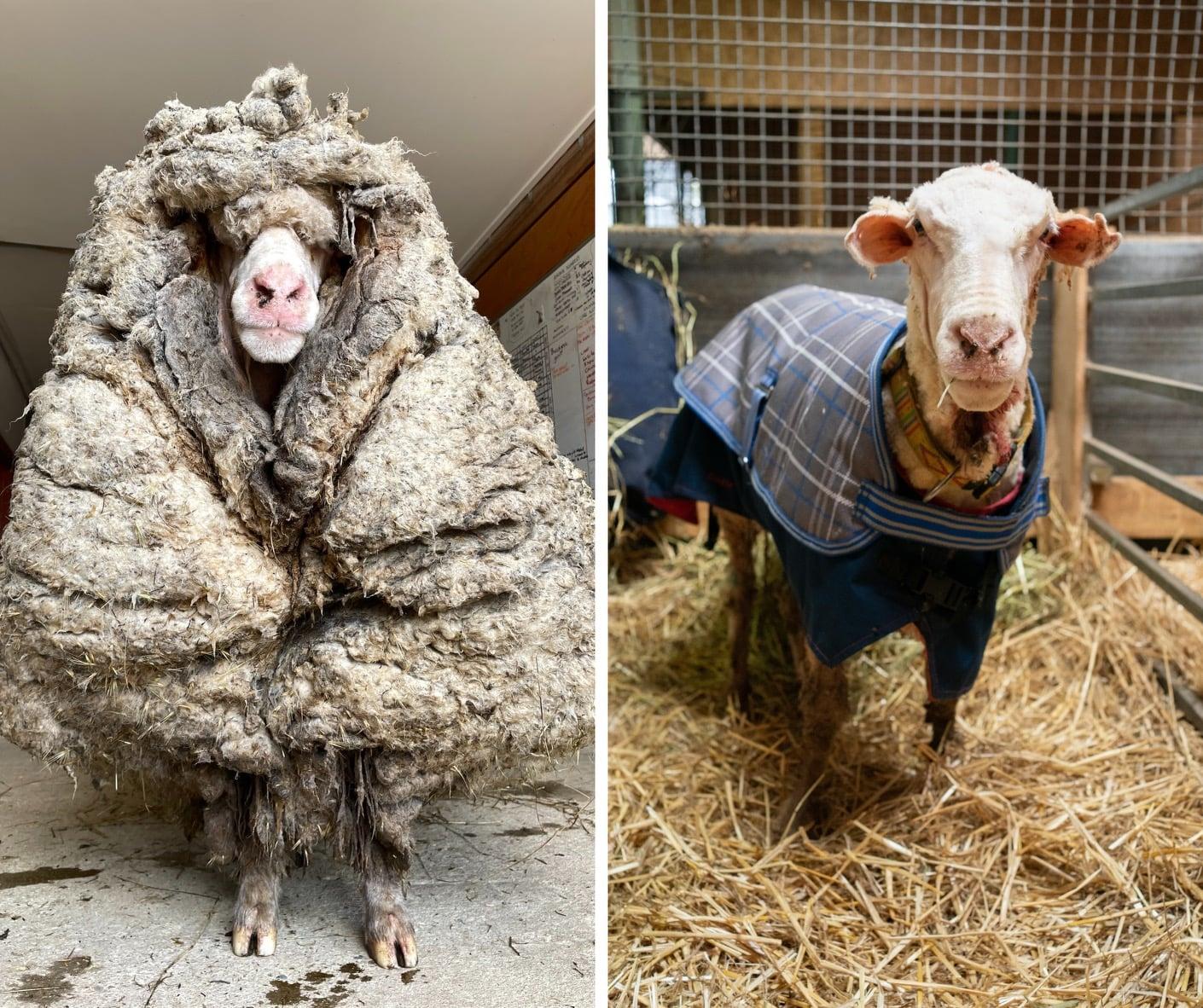 Diện mạo ma chê quỷ hờn của con cừu 5 năm không được xén lông - 2